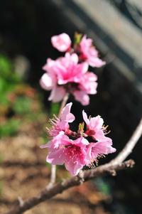 今年も桃が咲きました - このひとときを楽しもう