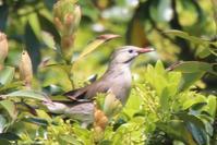 ギンムクドリ - poiyoの野鳥を探しに