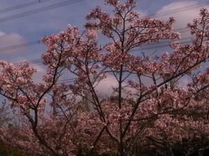 昨日は「いきなり花見」 - 立ち呑み漂流