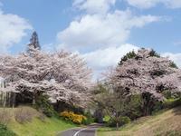 昭和記念公園の桜満開の頃に - 光の音色を聞きながら Ⅱ