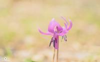 ひっそりと咲く - ユルリ ユルリト。
