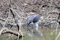 水を飲む オオタカ - azure 自然散策 ~自然・季節・野鳥~