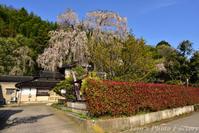 「喜多家のしだれ桜」と「種小学校跡の染井吉野」 - Tomの一人旅~気のむくまま、足のむくまま~