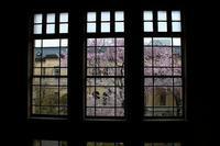 京都 旧府庁舎本館の桜 2017 春 - 暮らしを紡ぐ