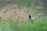 菜の花畑のキジ@大阪府 - とことんデジカメ ♪野鳥写楽