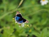 アオタテハモドキ - 風の翅