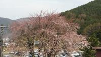 2017年富士北麓の桜 - もの作りの裏側 太陽電機株式会社ブログ