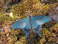 カラスアゲハ - 秩父の蝶