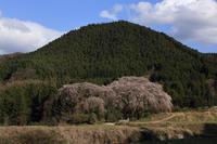 枝垂れ桜の里  - 風の彩り-2