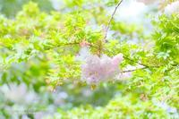 小さな橋の最後の桜 - カメラをもってふらふらと