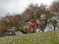 桜とabby9、桜とzack10 - abby & zack