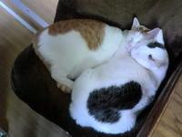 この頃の猫くんたち。 - 京都嵐山 着物レンタル&着付け「遊月」