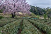 岩淵の一本桜@飯能市 - デジカメ写真集