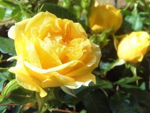 ◆我が家の黄色いミニバラ - ちくしん今井章介のブログ