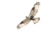 ケアシノスリ 真っ白い空 - 気まぐれ野鳥写真