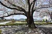 ヴェルニー公園の桜 9 最終回 - 素顔のままで