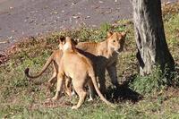 イチゴ&ニイナ~獅子はカラスを追い払うのにも全力を尽くす - 続々・動物園ありマス。