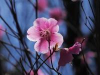 只今アカヤシオ満開につき♪・・・赤城自然園! - 『私のデジタル写真眼』