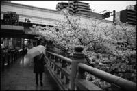 桜色の傘 - のっとこ