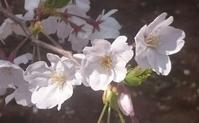 2017、櫻、咲く。-拾七:天然コサージュ - デハ712のデジカメ日記2017