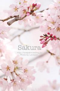 2017 桜 - Lovepan