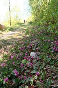 シクラメン・蘭の花咲く春の山、イタリア - ペルージャ イタリア語・日本語教師 なおこのブログ - Fotoblog da Perugia