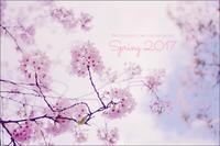 桜*SAKURAのSpring in JAPAN 2017 - フォトジェニックな日々