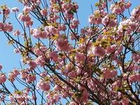 思いがけずお花見ができました♫ - ルーマニアン・マクラメに魅せられて