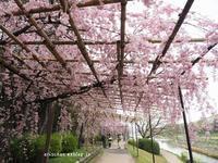 半木(なからぎ)の道の満開の紅枝垂れ桜をオフ会で満喫~♡ - アリスのトリップ
