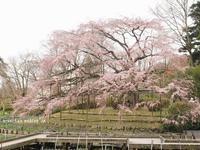 京都府立植物園の大枝垂れ桜2017♫ - アリスのトリップ