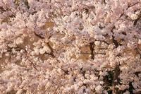 桜便り'17 #10 - 但馬・写真日和