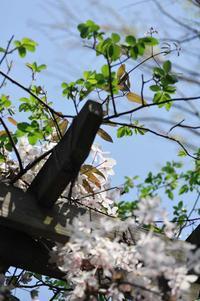 バラが咲く前の庭の花・その②・・・手を伸ばし始めた木々(4月13日) - Reon&Roses+Lara