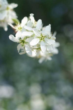 バラが咲く前の庭の花・その③・・・咲き進んだジューンベリーとその足元で輝くお花たち(4月15日) - Reon&Roses+Lara