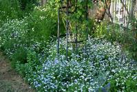 バラが咲く前の庭の花・その④・・・西日の当たるカモミールと忘れな草(4月18日) - Reon&Roses+Lara