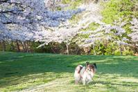 近所の桜4 - My Palpitation