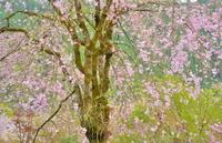 日本の春は桜の国 4 - 天野主税写遊館