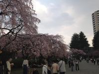 4月14日(金)桜便り〜ご来店♪ - 吹奏楽酒場「宝島。」の日々