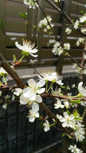 本町のプルーンの花 - どうすりゃ~いいだかしん金谷駅前通り活性化プロジェクト