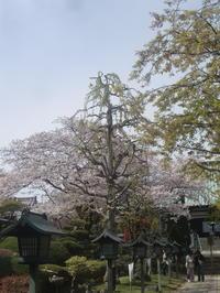 桜前線名残の桜見物、安行密蔵院 - 活花生活(2)