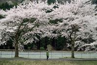 花も嵐も 踏み越えて・・・朽木大野桜、キレイ! - 朽木小川より 「itiのデジカメ日記」 高島市の奥山・針畑郷からフォトエッセイ