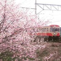 桜川にサクラサク-近江鉄道 - 滋賀県議会議員 近江の人 木沢まさと  のブログ