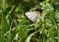 トラフシジミとツマキチョウ - 公園昆虫記