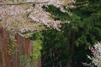 桜~2017~⑧ - Lupix's eys