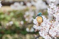 桜に埋もれてしまったカワセミ - あだっちゃんの花鳥風月