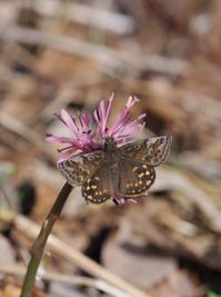 やっと初見のギフチョウ証拠写真 - 蝶超天国