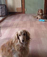 朝のクッキー&マロン - きょうのはなwithくるみ~愛犬写真日記~