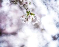 SakuraDrops - HI KA RI