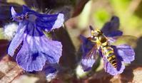 『花 と 花虻』 - 自然感察 *Nature * feeling*