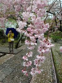 京都のお花見散歩 ~法金剛院~ (撮影:4月15日) - ご無沙汰写真館