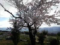 やっと桜が咲いた - リンゴ園で想う